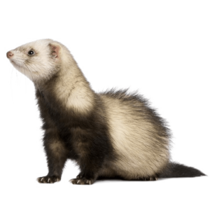 https://zdorovet.ru/wp-content/uploads/2019/11/ferret-png-free-download_18767-300x300.png