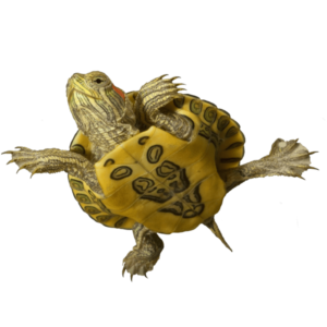 https://zdorovet.ru/wp-content/uploads/2019/11/sea_turtle_on_a_transparent_background__by_prussiaart_dbpdpyc-fullview-300x300.png